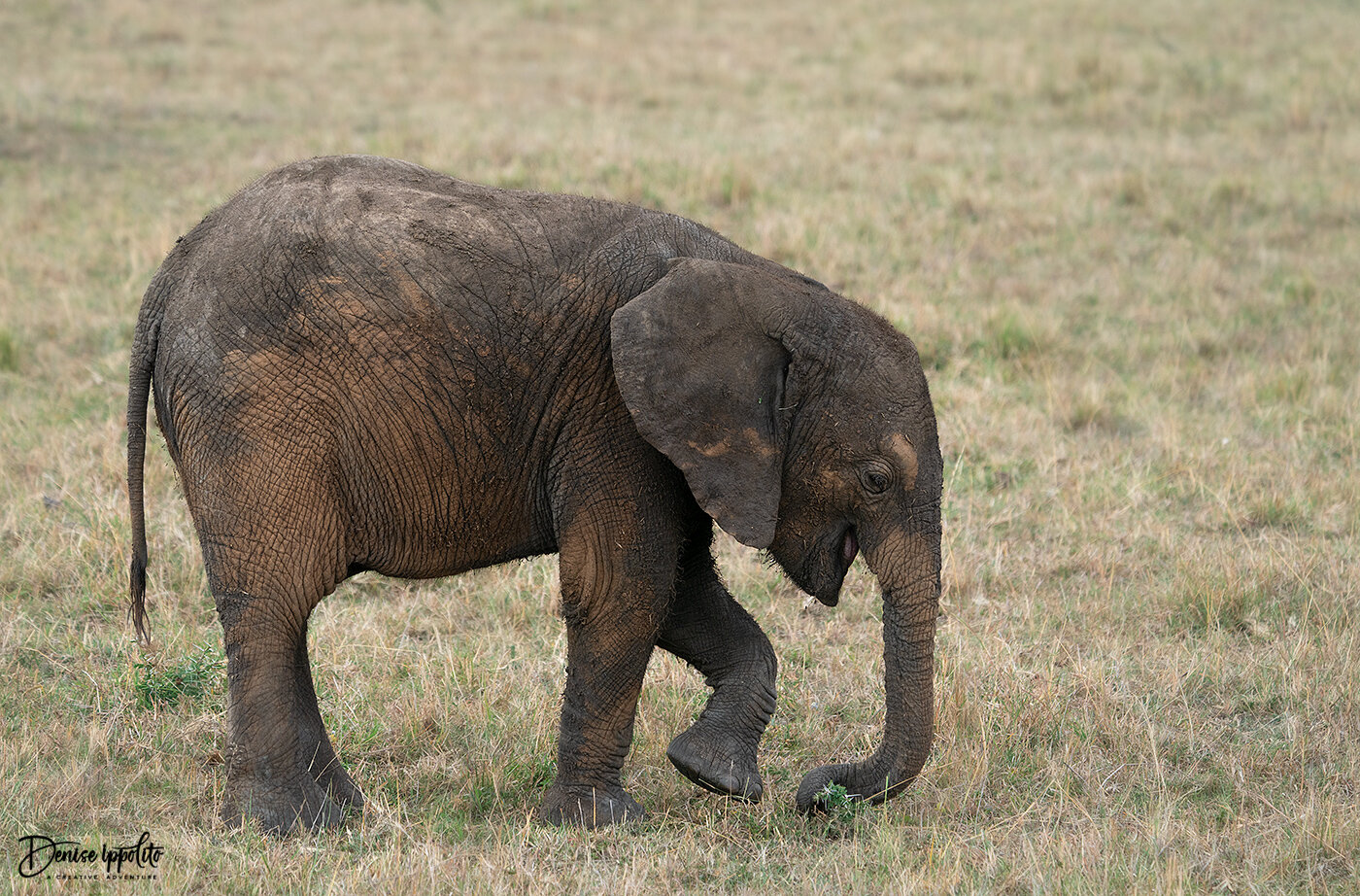 Probably the cutest little Elephant I ever saw. I took so many images of it.