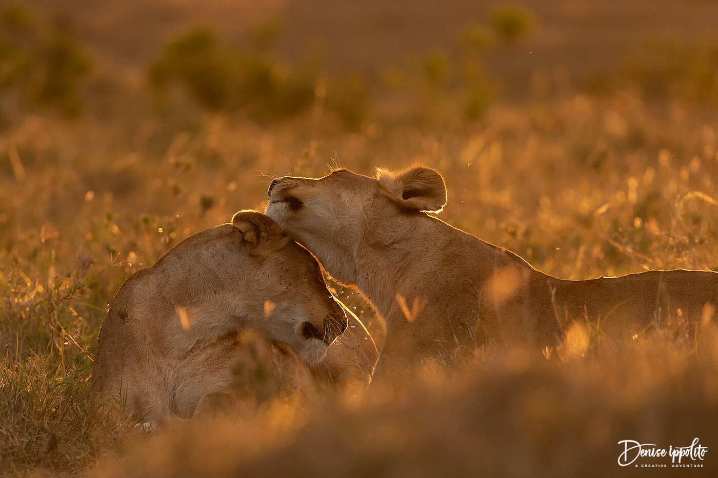 Two lionesses showing a tender moment.