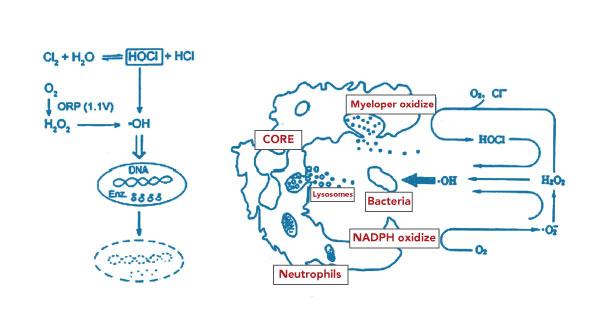 Bactericidal_diagram.jpg
