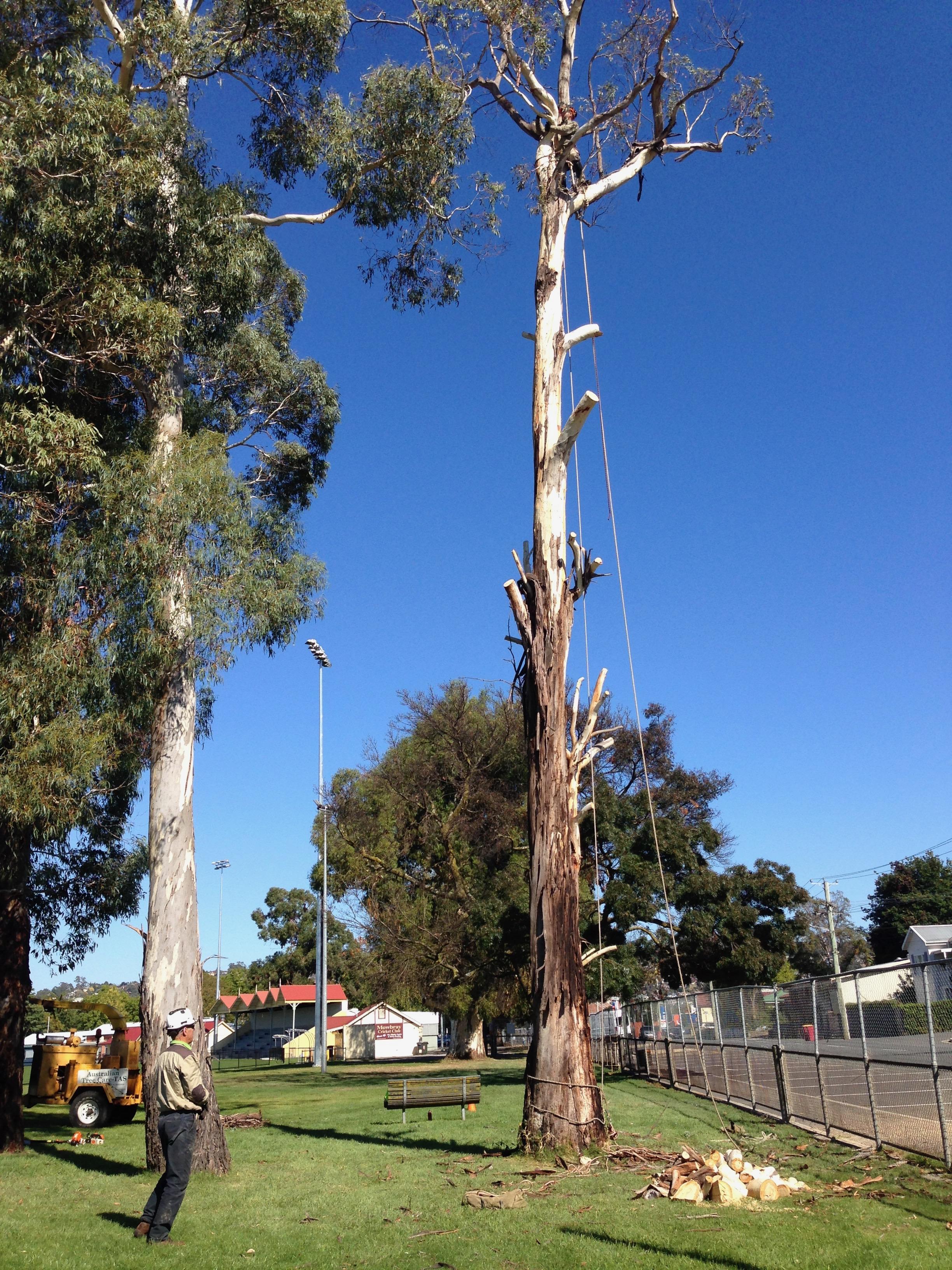 Removing a hazardous tree for Launceston City Council.