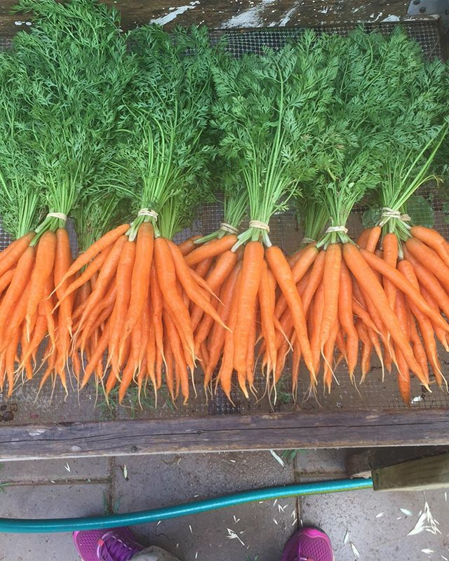 Spring carrots coming to @chfarmersmarket tomorrow! Proud of these cutie pencil Mokums. 🥕