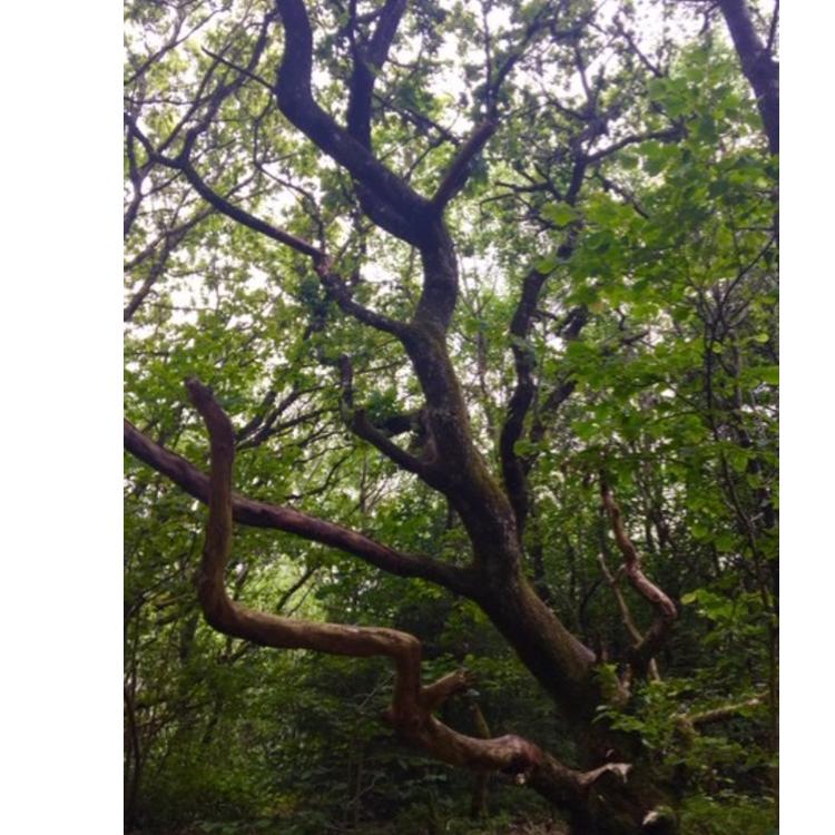 Troldetræ, Fosdalen
