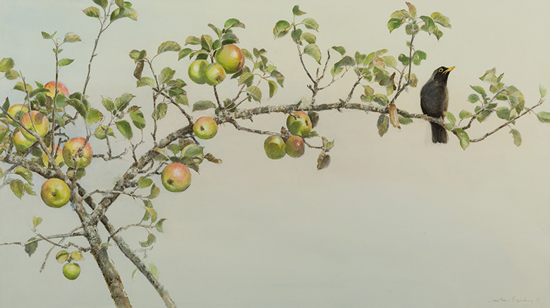 Apple Branch and Blackbird - watercolour and charcoal, approximate image size 26 x 47 inches