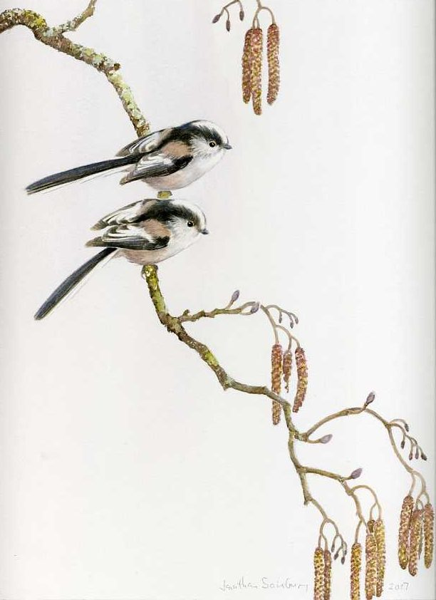 Long-tailed tits, alder catkins, watercolour, charcoal, Jonathan Sainsbury