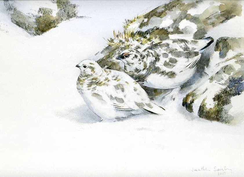 Camouflage, ptarmigan, snow, rocks, lichen, watercolour & charcoal, Jonathan Sainsbury