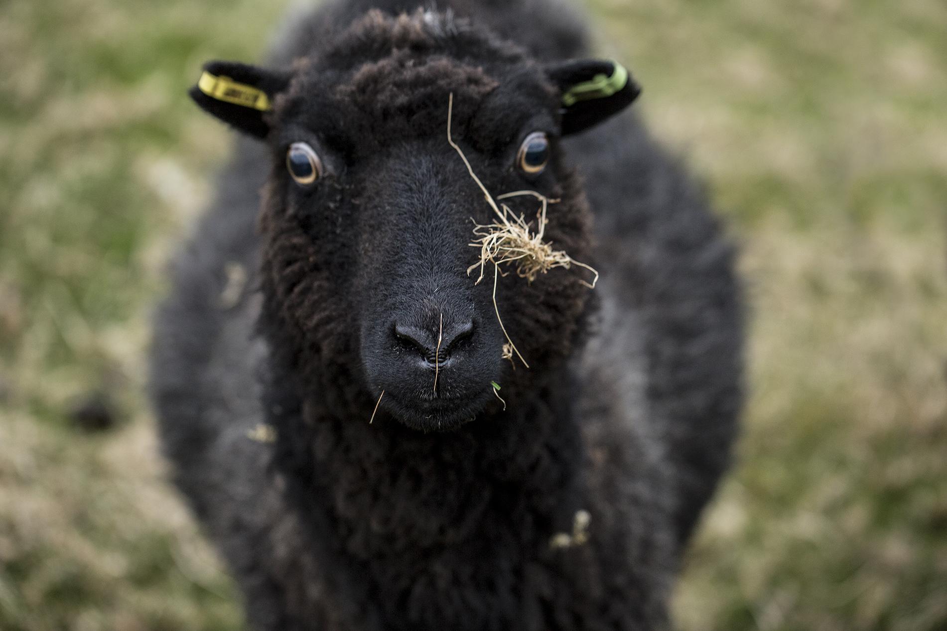 sheepoftheweek copy.jpg