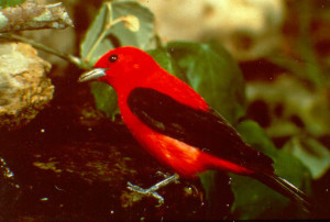 Large, unbroken forest is essential breeding ground for migratory neotropical birds such as the scarlet tanager.