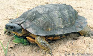 The Sourlands provide ideal habitat for the wood turtle, a threatened species in New Jersey.