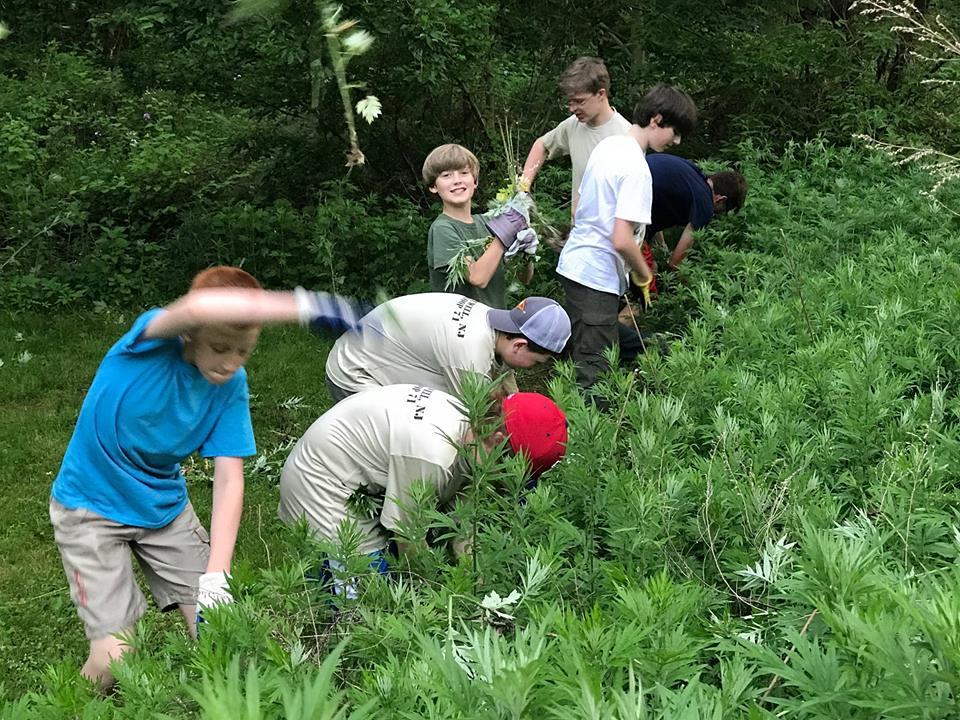 Boy Scout volunteers removing invasive plants.