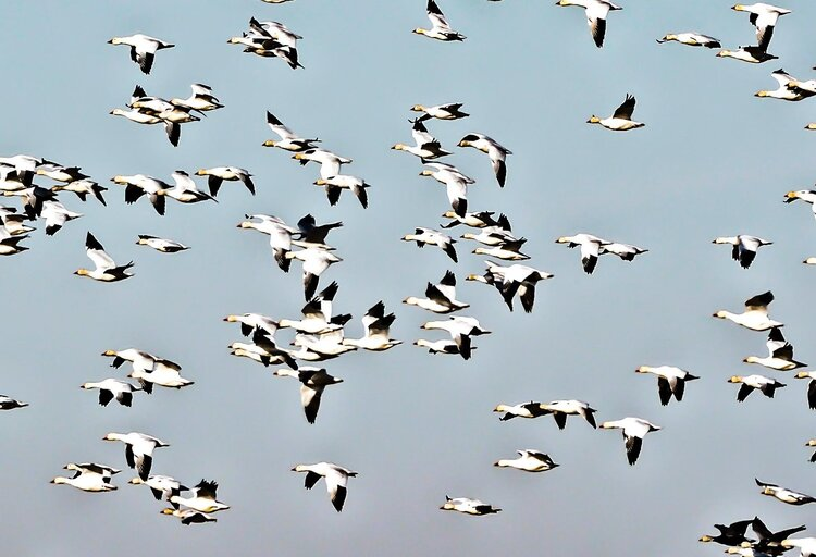 Snow geese have increased in population by 300% since the 1970's. For a dozen or more years the females lay 3-5 eggs.