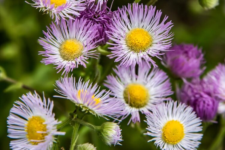 Common fleabane's flowers are sometimes white or sometimes pink, while its close relative, daisy fleabane, only has white flowers. Contrary to its name it is not the bane of fleas; in fact, its aroma attracts insects.