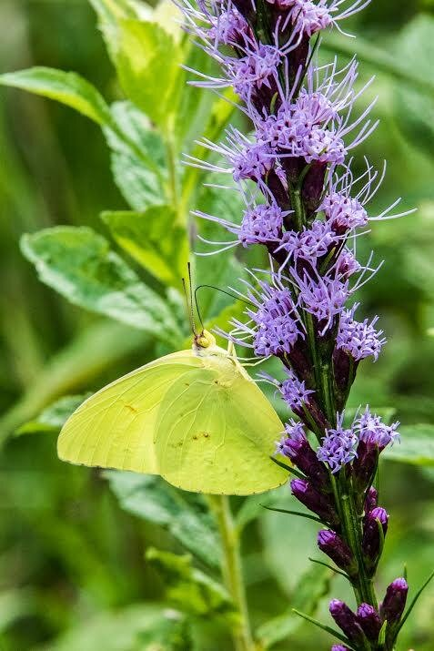 A northern blazing star and a cloudless sulphur butterfly. The northern blazing star is uncommon in the Sourlands and in much of the northeast. It is one of many meadow plants that are losing habitat as meadows are often allowed to succeed into forests, or when they become development sites.