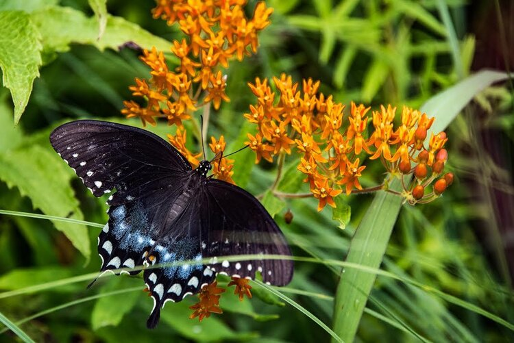 A spicebush swallowtail is taking nectar from the appropriately named butterfly weed. By late summer large butterflies often have parts of their wings missing. Sometimes it is from a bird trying to catch it; sometimes its delicate wings just suffer accidents.
