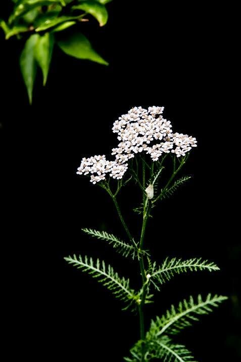 Yarrow is native to North America, Europe and Asia. It was historically called woundwort because it was used to staunch the flow of blood from a wound. The mythical Greek character Achilles reportedly carried it with his army, and it was used that way for troops from both sides during the American Civil War.