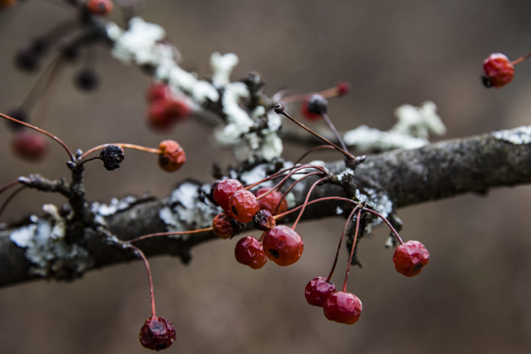 I have often noticed after the leaves have fallen from all the trees, that crabapples stand out because their branches host bright splotches of white lichen.