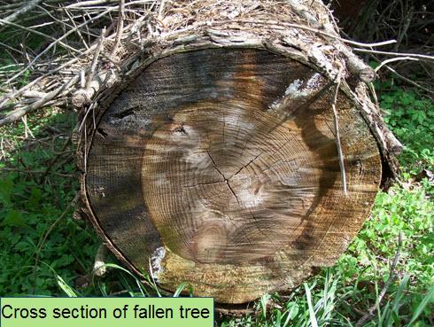 cross section of fallen tree.jpg