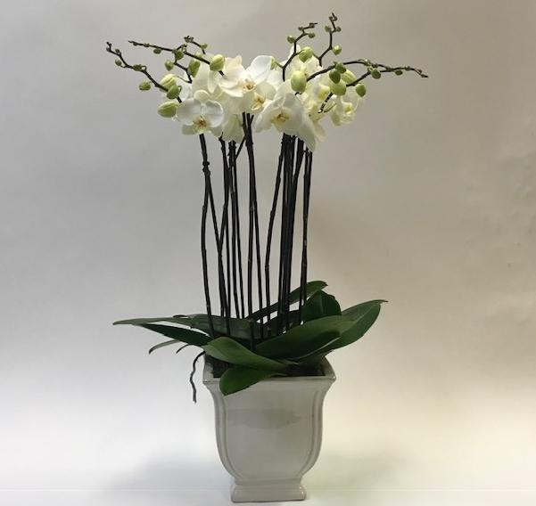 SF Plants Orchid Plants.jpg