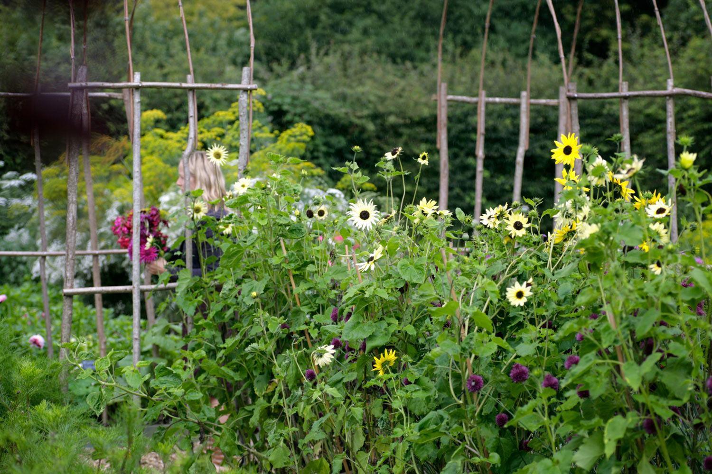 Cutting garden at Perch Hill