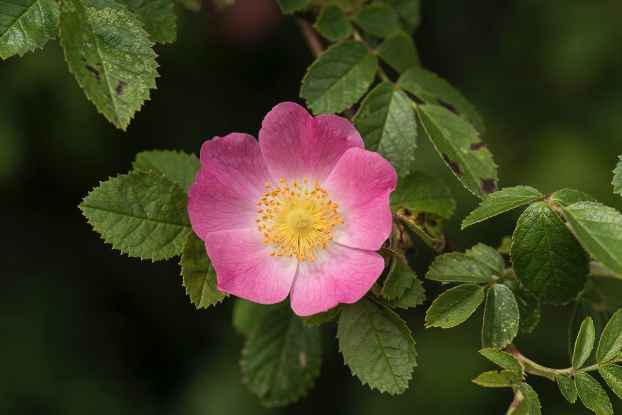 Rosa rubiginosa_4.jpeg