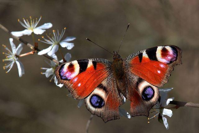 Peacock_butterfly_Aglais_io_2.jpg