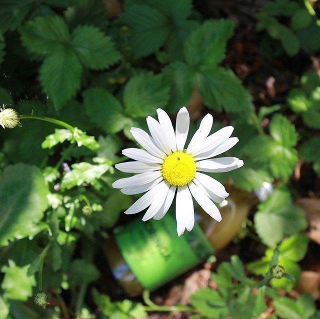 Elsk solen og kroppen højt 🌼☀️💚 . . . . #flower #green #grøn #blomst #moringa #bellis #afrika #africa #denmark #danmark #superfood #superfooddrink #health #sundmad #sommer #sommermad