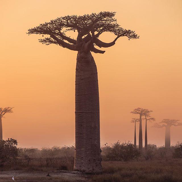 Glædelig onsdag! Vejret er måske ikke helt i top - men der er meget at fejre alligevel, vi er bl.a. Kommet på hylderne i flere @irmadanmark 💙  Hvad har i at fejre i dag? ☺️ /  På billedet ses træernes konge / Baobab træet! Vi bruger dets frugter i vores gule variant 🌳🌼 . . . . #baobab #irma #tree #forrest #suset #nature #photography #oramge #økologi #juice #superfood #organic #superfooddrink
