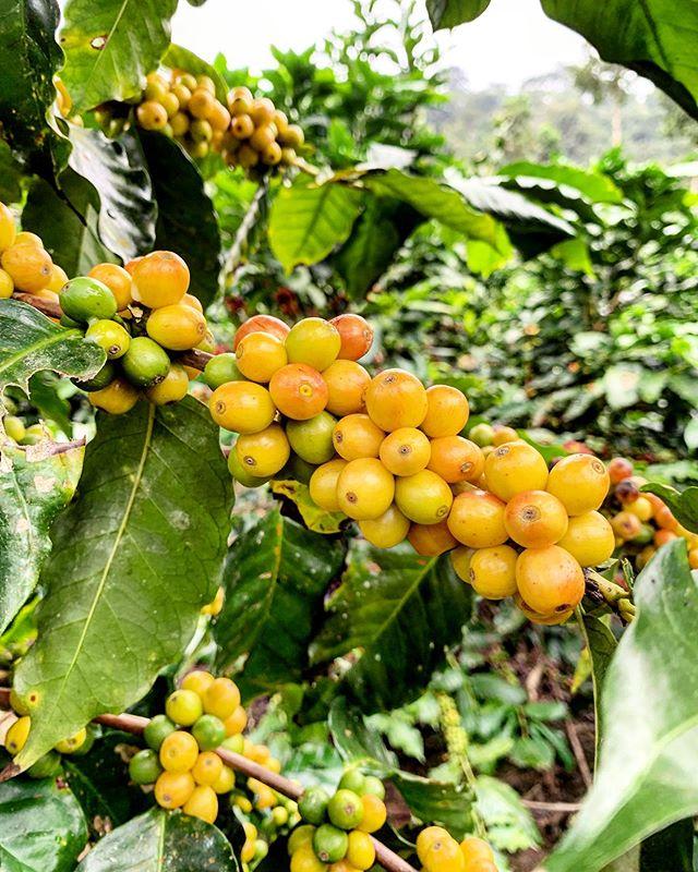 Café Cacique del bosque húmedo, fruta amarilla,delicioso aroma @bocavaldivia @tanusas.hotel @fundacionamor7.8 #bocavaldivia #biodiversity #love#cafe#cacique#cloudforest#libredequimicos#vitamins#manabi#ecuador🇪🇨