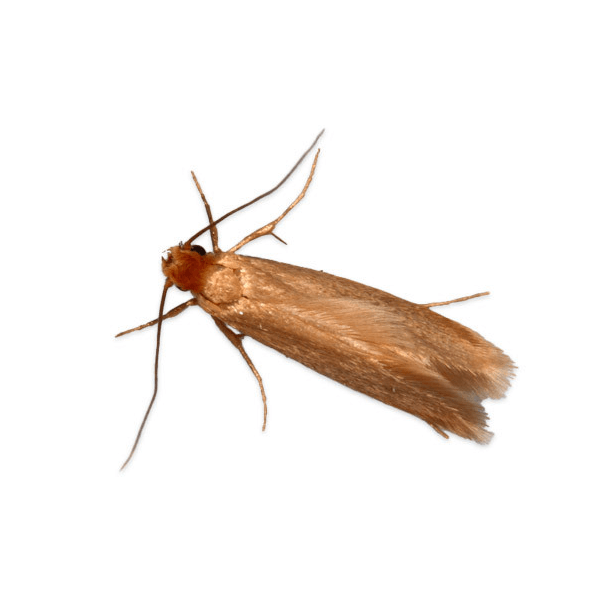 Casemaking Clothes Moth   They attack a wide variety of natural materials and even some synthetic ones, often using paper, starch, cotton or silk to build cocoons. It is a pest of woolens, rugs, feather, felts, skins, spices, drugs, furs, taxidermy mounts and stored tobacco.