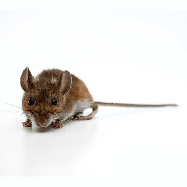 Deer Mouse   Deer mice often nest in sheltered outdoor areas such as old fence posts, hollow tree logs or piles of debris. During the winter months, deer mice may invade homes, garages, sheds or rarely used vehicles to seek shelter.