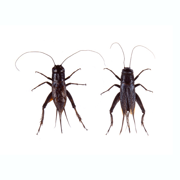 Field Crickets   They are known for their loud chirping which is caused when males rub their front wings together to attract females. You'll typically find these in your house if you're surrounded by woods.