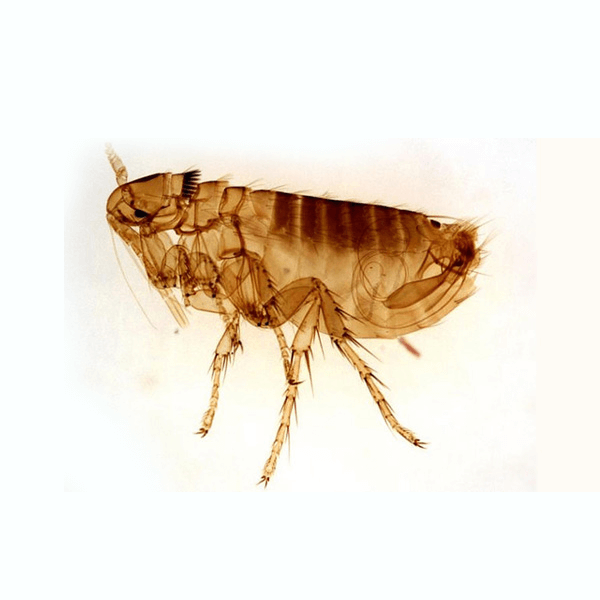 Fleas   Fleas are parasites that feed on the blood of any warm-blooded body. Cat fleas are the most common, but dog fleas, human fleas and rat fleas are also different varieties. They use their powerful legs to jump onto a passing host. These need to be controlled to prevent an infestation.