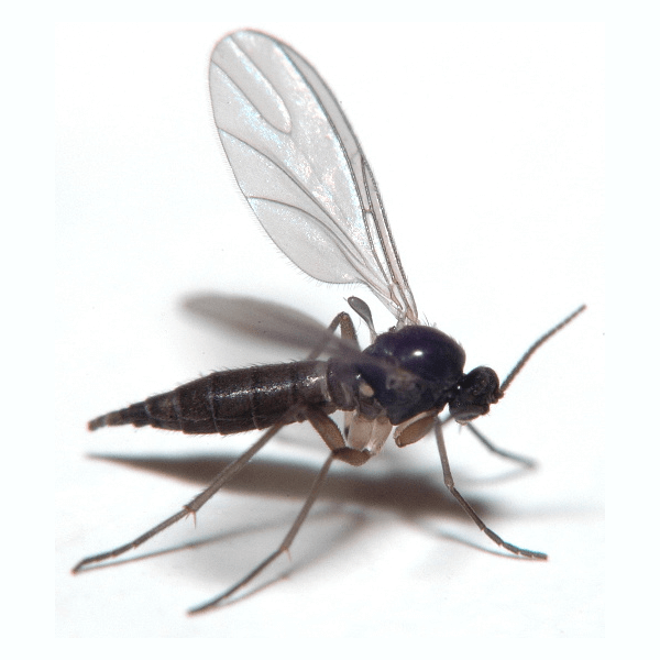 Fungus Gnats   Damp houseplant soil is a fungus gnat larvae's ideal habitat, though bright lights and warmth also attract them. Infestations are common in potted plants.
