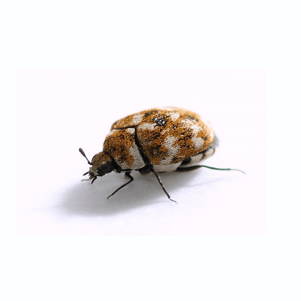 Furniture Carpet Beetle   These guys tend to live in carpets and shams of houses. Due to their unique color, they blend in very well.