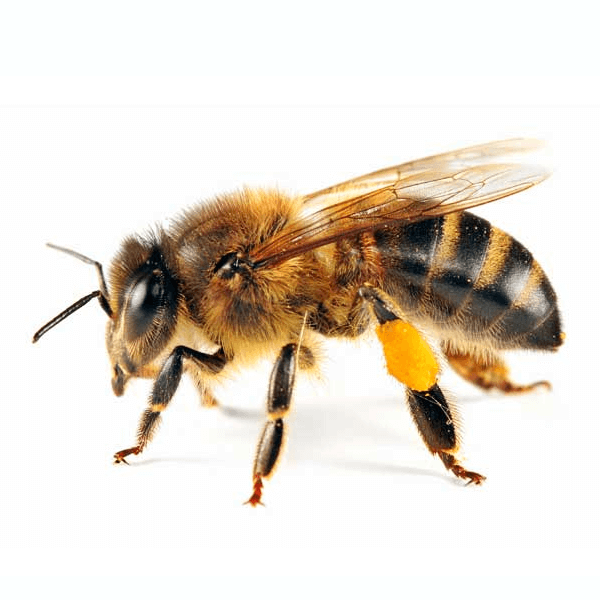 Honey Bee   Honey bee management should be addressed by a professional. Treatment or removal of a honeybee nest and the honey product can be very messy. Because honeybee colonies are so large, only a honey bee pest control professional or experienced beekeeper can safely remove a honeybee nest.