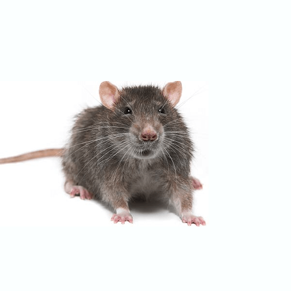 House Mice   During the cold winters months, you might experience a mice infestation. House mice breed rapidly and can adapt quickly to changing conditions. A female house mouse can give birth to a half dozen babies every three weeks!