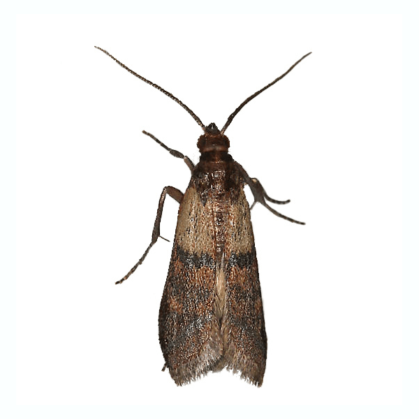 Indian Meal Moth   These are typically found in the pantry of your home. Indian meal moths infest foods and can contaminate food products.