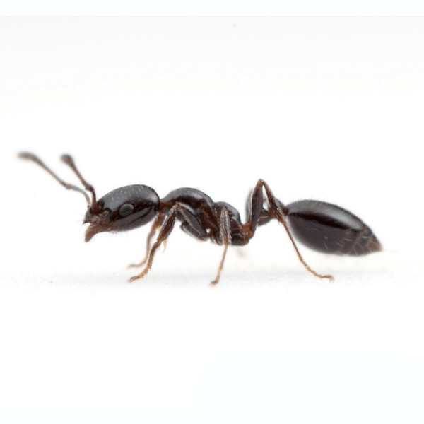 Little Black Ant   After pest control services, homeowners should seal cracks and crevices in exterior walls with a silicone-based caulk, ensure firewood is stored at least 20 feet away from the home, and keep shrubbery well trimmed. Location of the nest is also important. While it can be difficult to see these ants due to their small size, their nests can be found by following the trial of workers back to the colony.