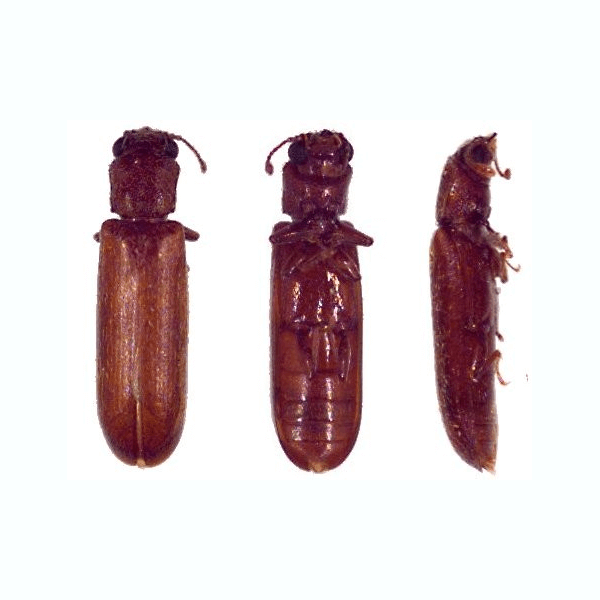 Lyctid Powderpost Beetle   Some researchers believe that powderpost beetles are second only to termites in the United States in their destructiveness to wood and wood products.