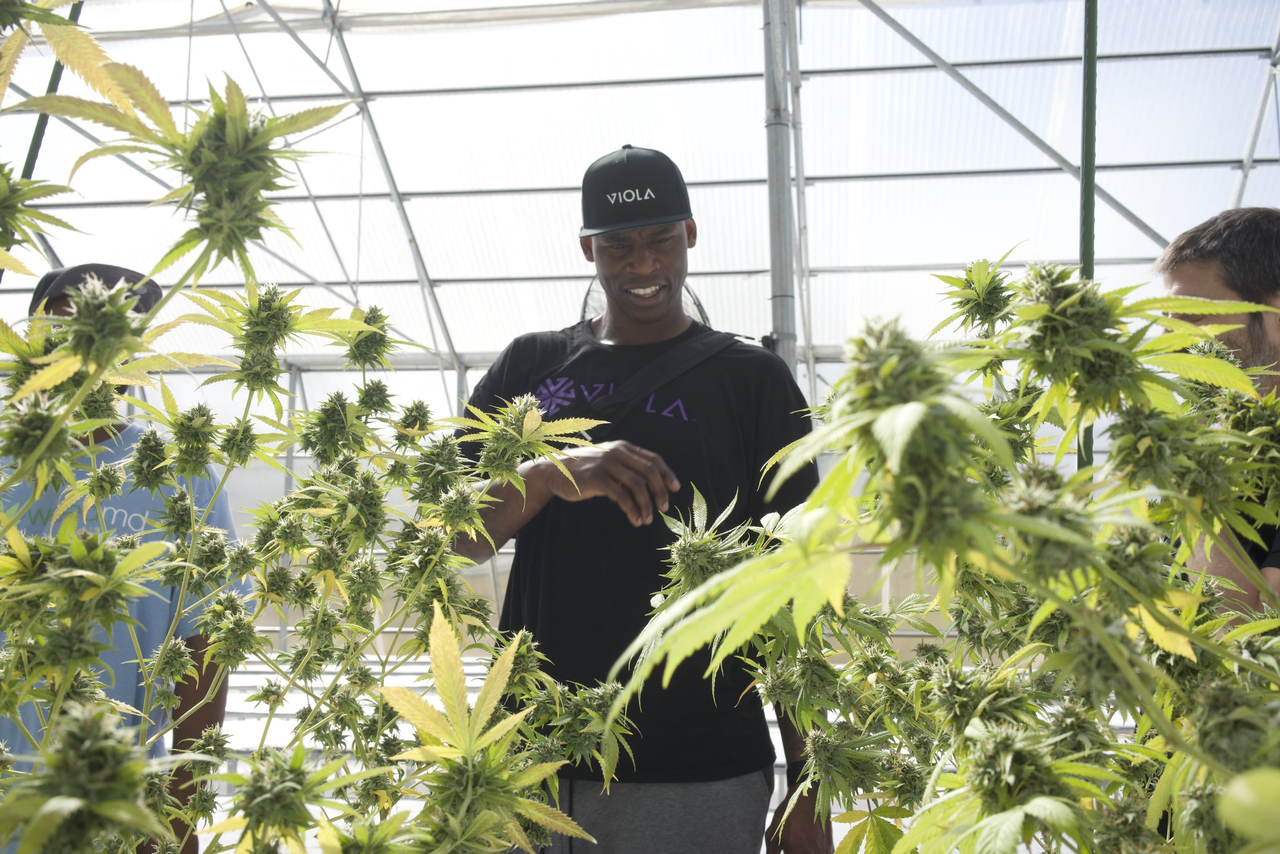 Former NBA Star Al Harrington started his own cannabis company called Viola.    Guess which Caribbean company he decided to partner with.