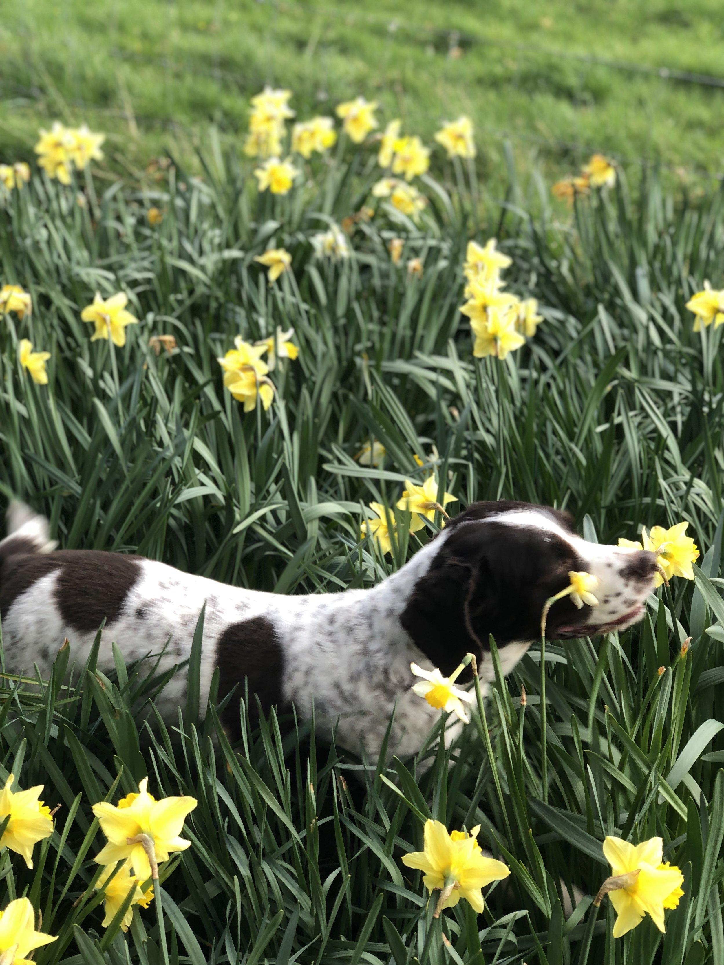 Jemima - in the Daffodils