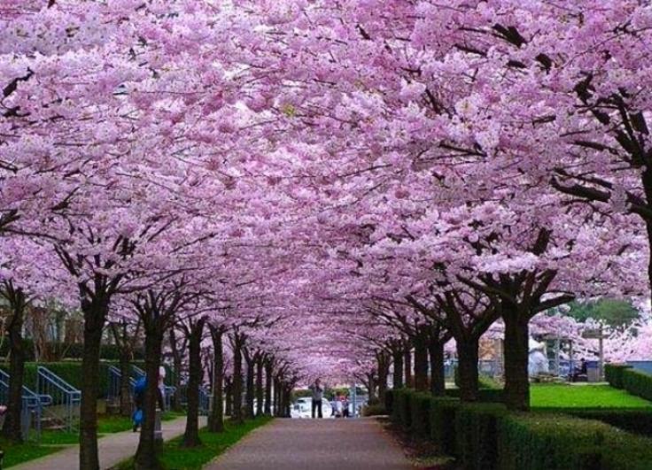 over-40k-cherry-blossoms.jpg