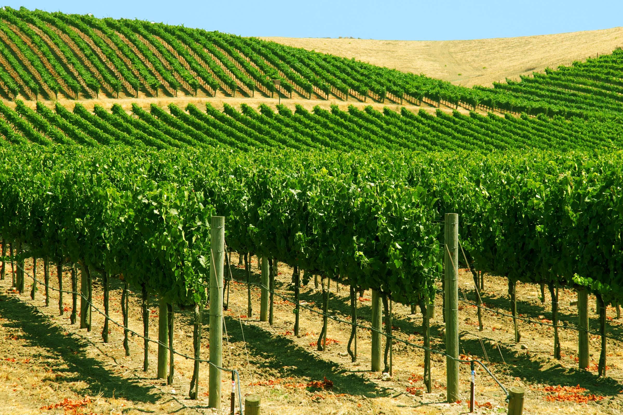 vinyard.jpg