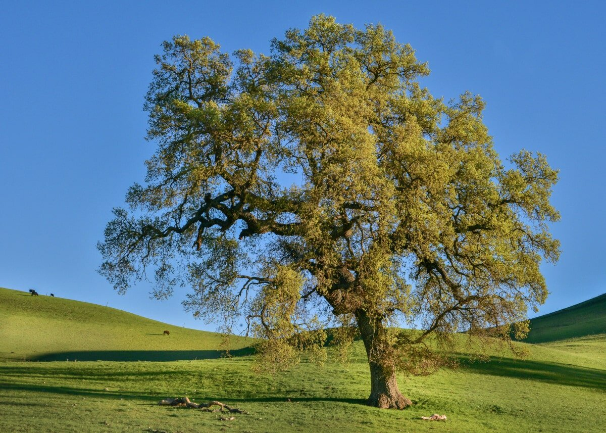 Of all type of trees on this list, oaks are one of my personal favourite!