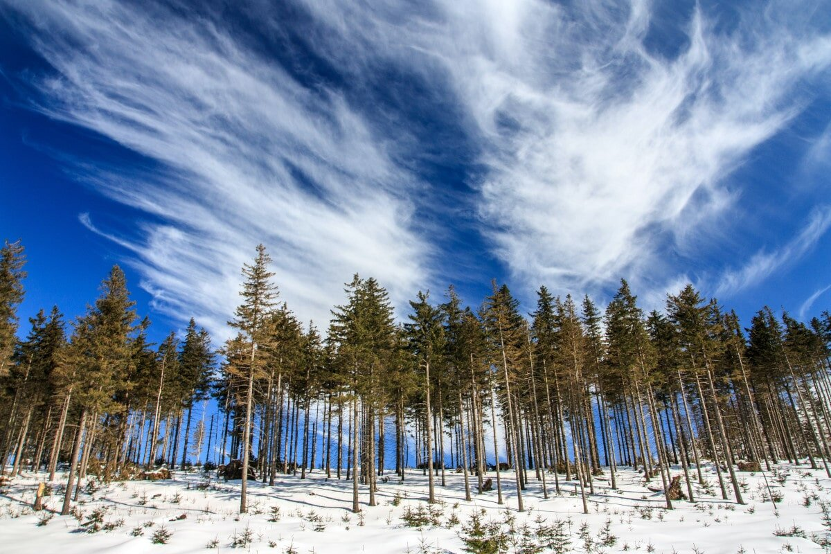 Pine trees are another of the diff types of trees we all know and love!