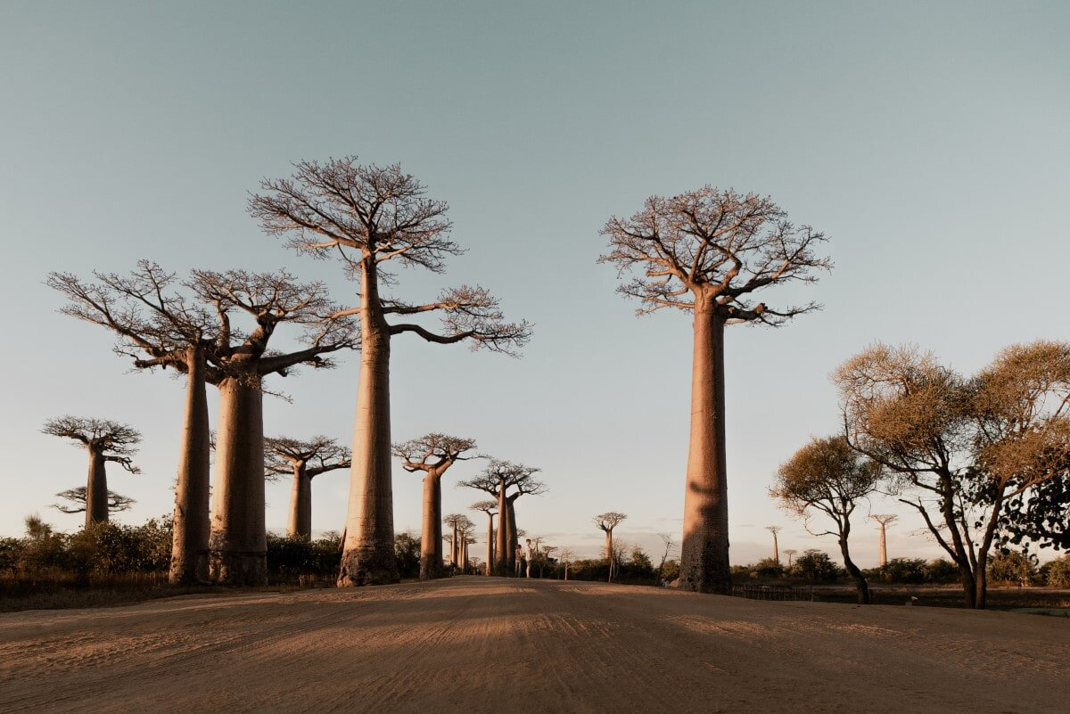 The incomparable Baobab trees!
