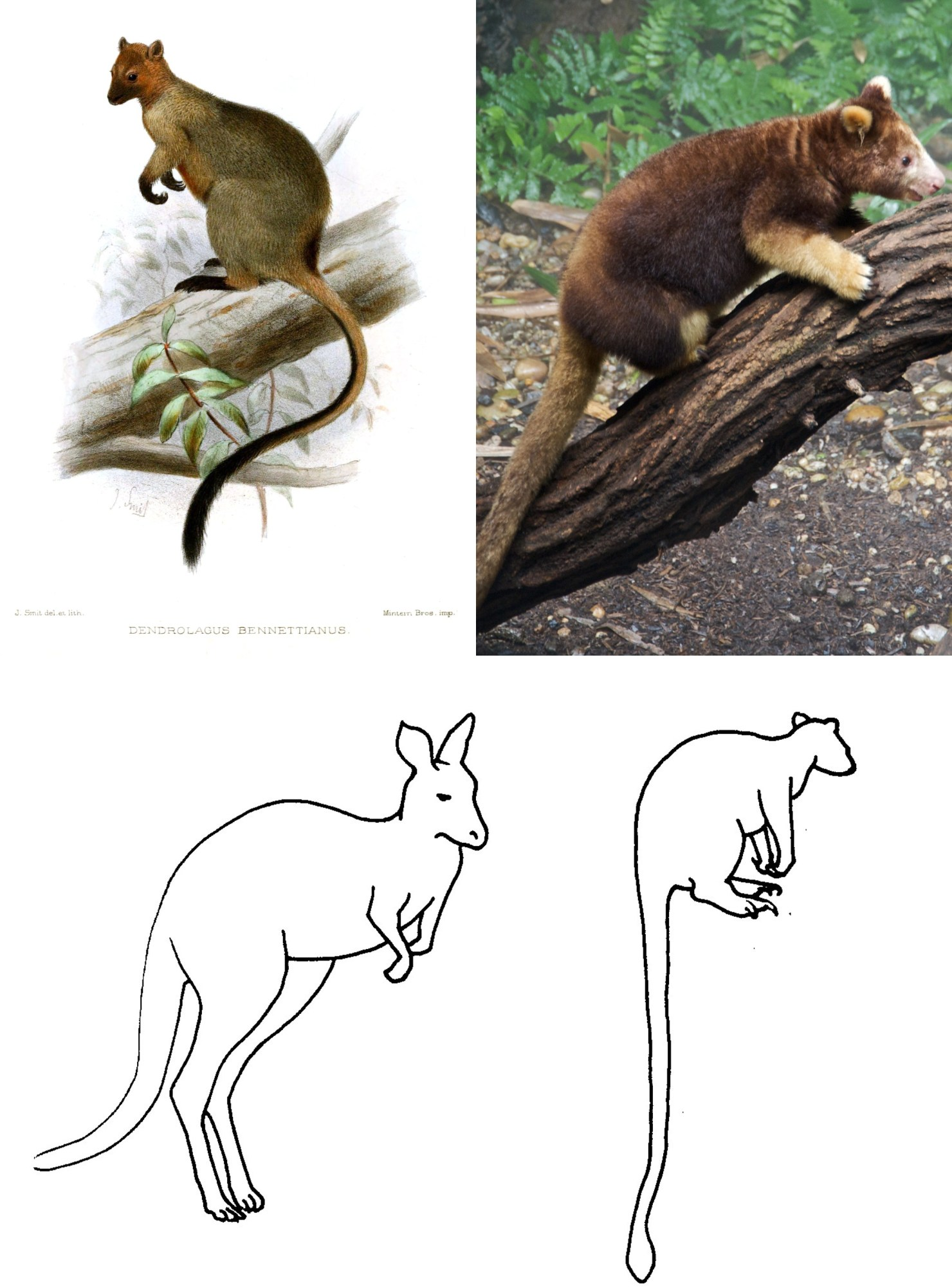 figure 1 — tree-kangaroos. top: left, lithograph of bennett's tree-kangaroo (dendrolagus bennettianus); right, photograph of matschie's tree-kangaroo (dendrolagus matschiei). (images from wikimedia commons). bottom: outlines showing a kangaroo (left) and tree-kangaroo (right), redrawn from martin (2005).