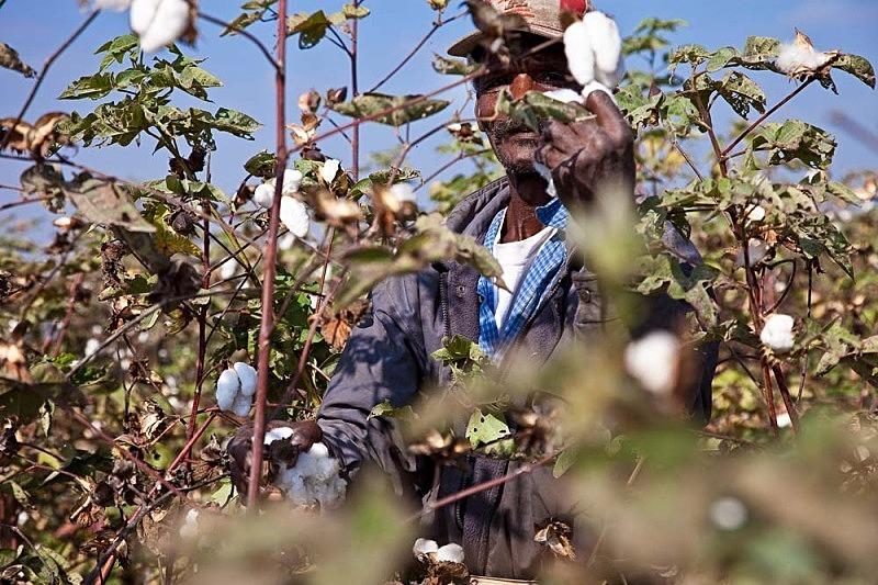 José cosechando algodón, El Carmen 2011
