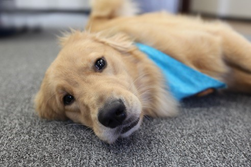 Meet Trigger, our Canine Advocate. His job is to be a calming presence for you and your child during this potentially difficult time.