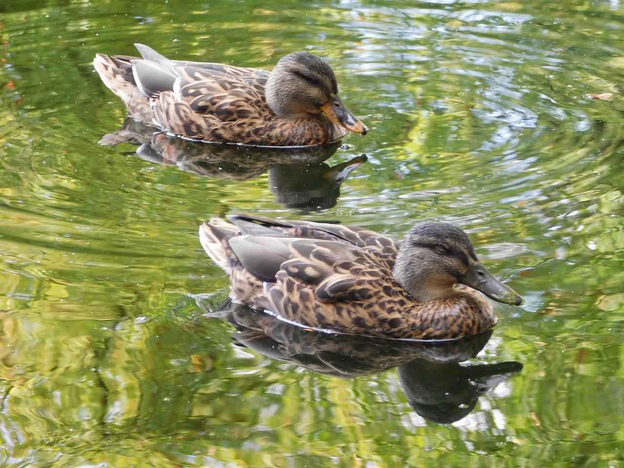 ducks-1606390_1280.jpg