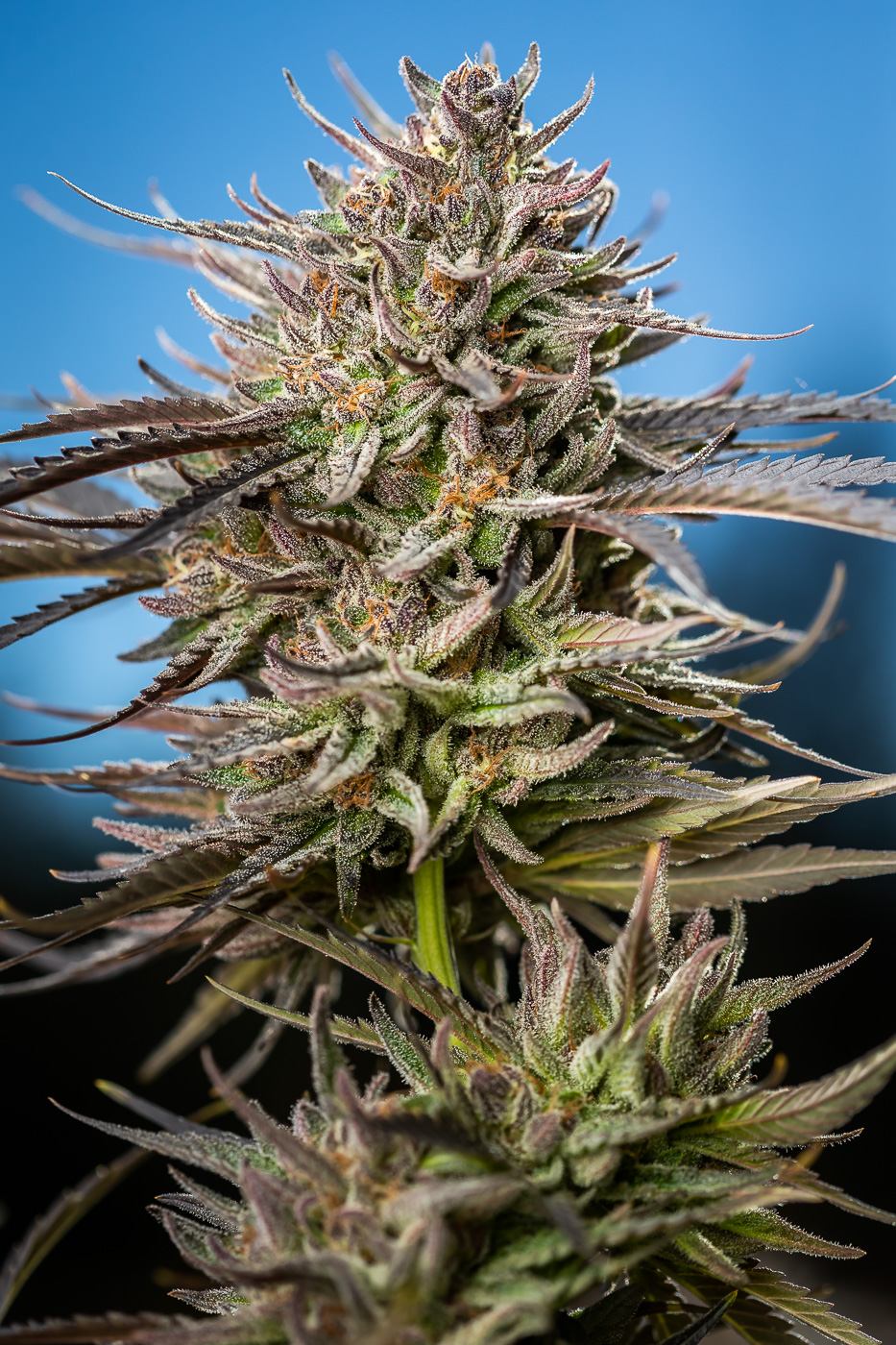 GLUEBERRY - Total Cannabinoids - 26.2%THC - 22.19%TERPENES - 5.171%